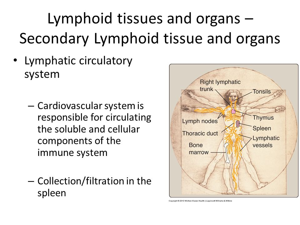 secondary lymphoid tissues 2 1) if no antigen is present: lymphocytes routinely enter and leave secondary lymphoid tissues 2) if antigen enters the secondary lymphoid tissue:.
