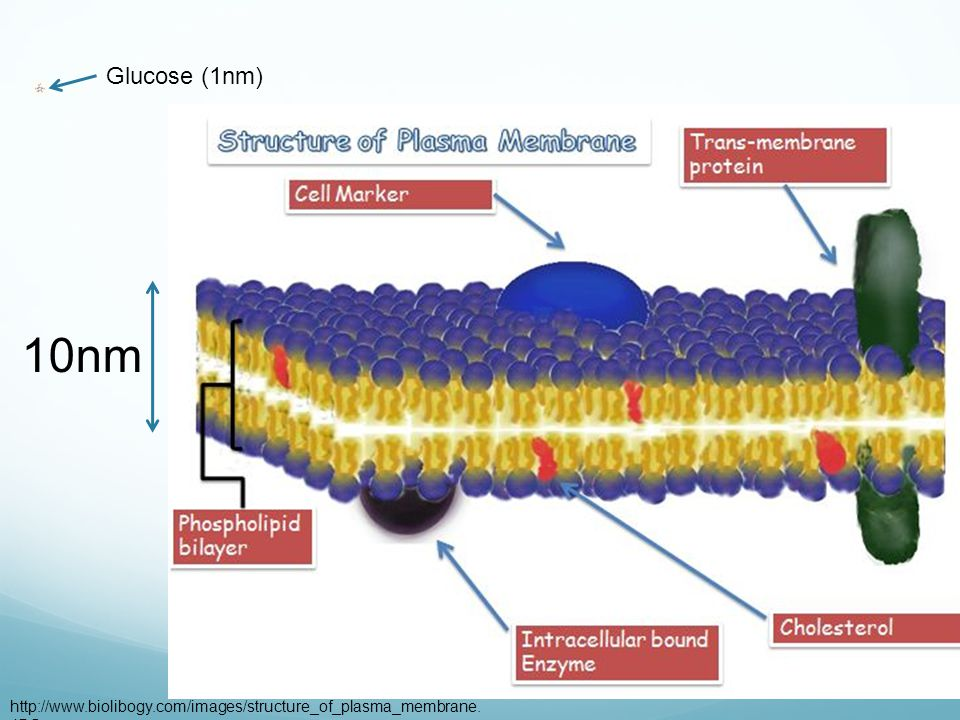 A molecule 10nm Glucose (1nm)