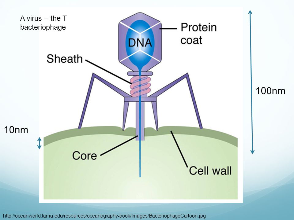 100nm 10nm A virus – the T bacteriophage