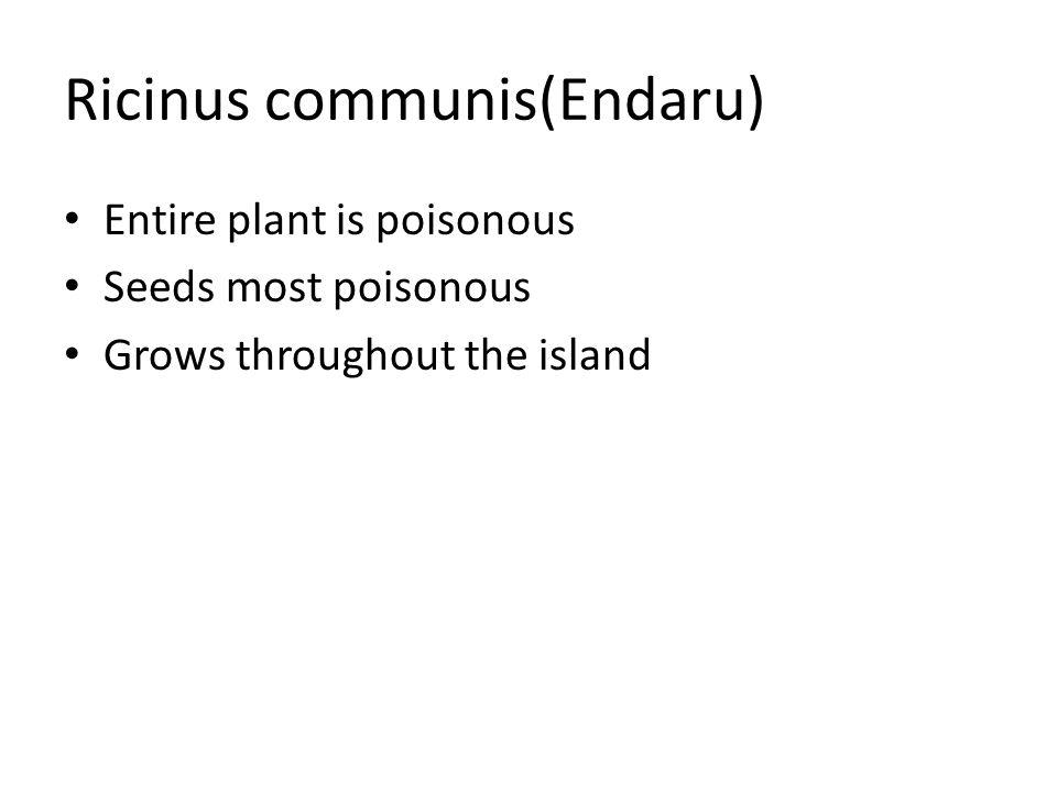 Ricinus communis(Endaru)