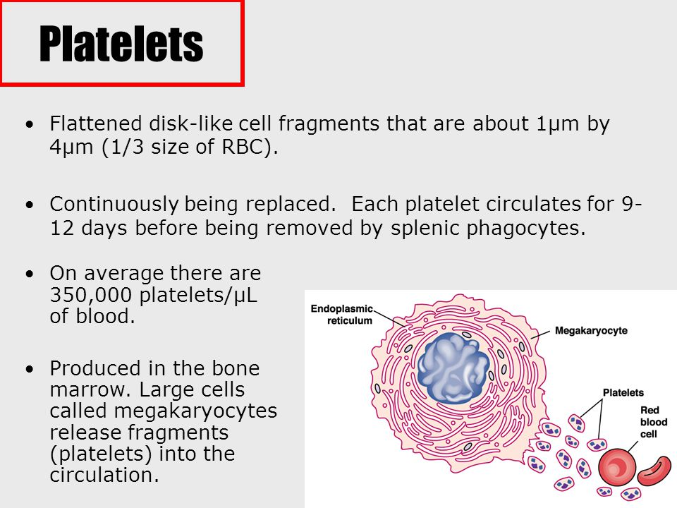 Platelets Flattened disk-like cell fragments that are about 1µm by 4µm (1/3 size of RBC).