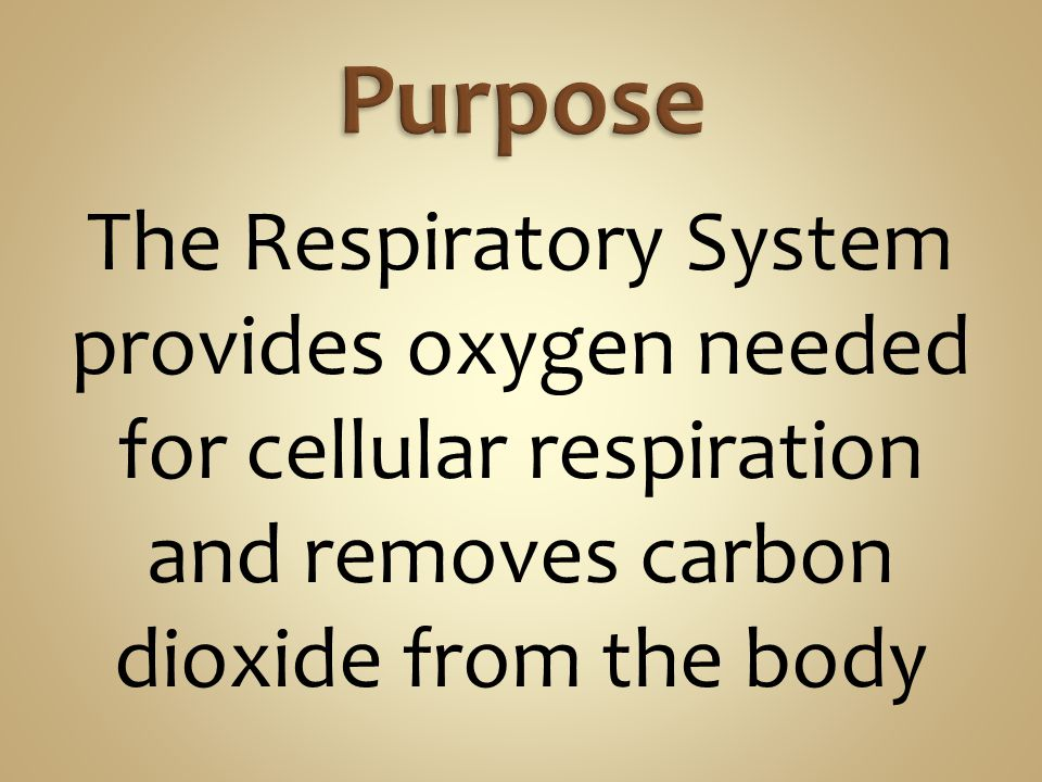 Purpose The Respiratory System provides oxygen needed for cellular respiration and removes carbon dioxide from the body.
