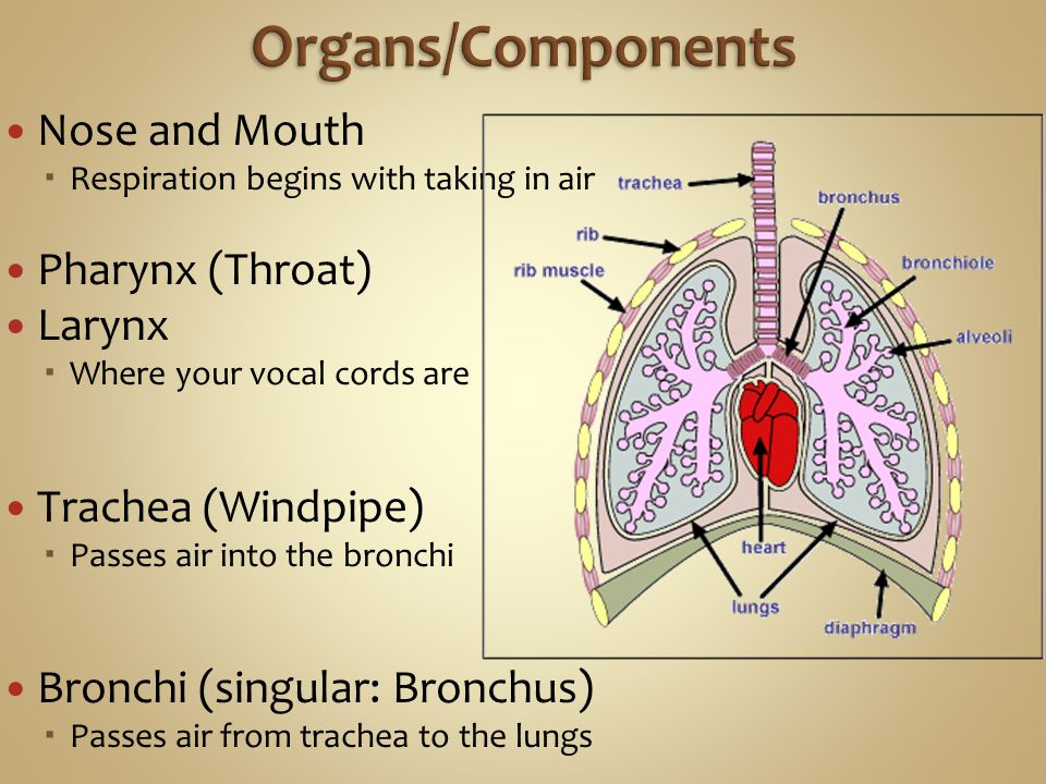 Organs/Components Nose and Mouth Pharynx (Throat) Larynx