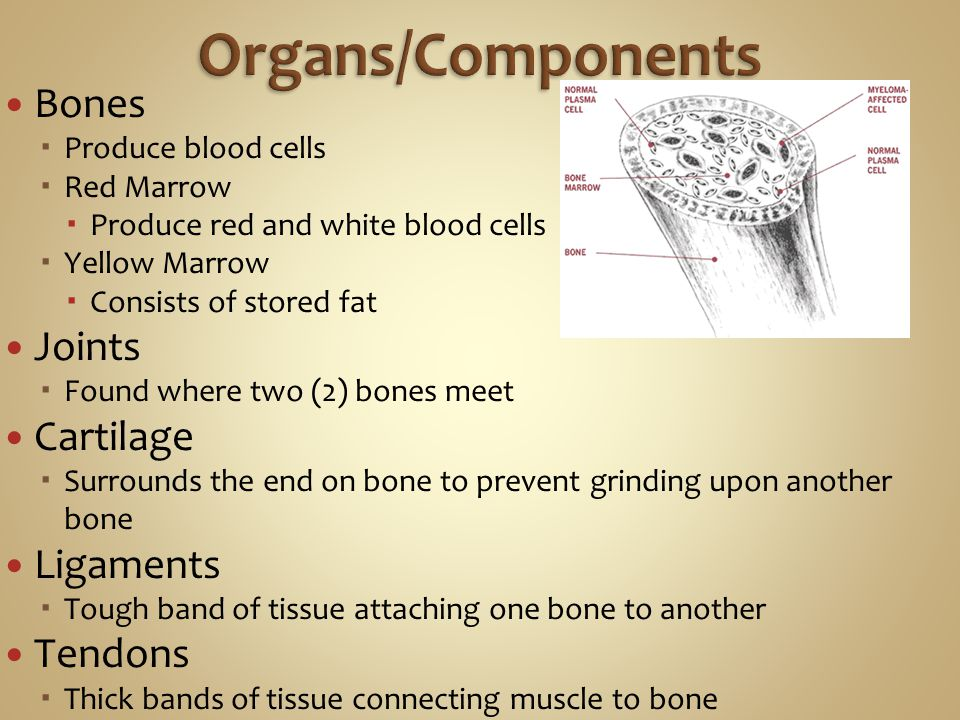 Organs/Components Bones Joints Cartilage Ligaments Tendons