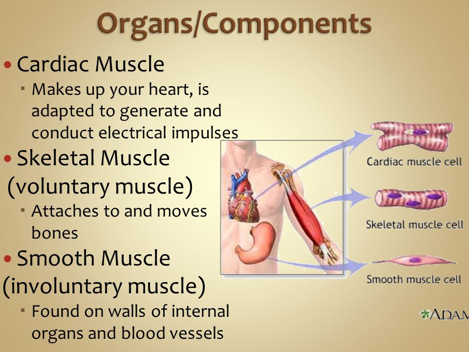 Organs/Components Cardiac Muscle Skeletal Muscle (voluntary muscle)