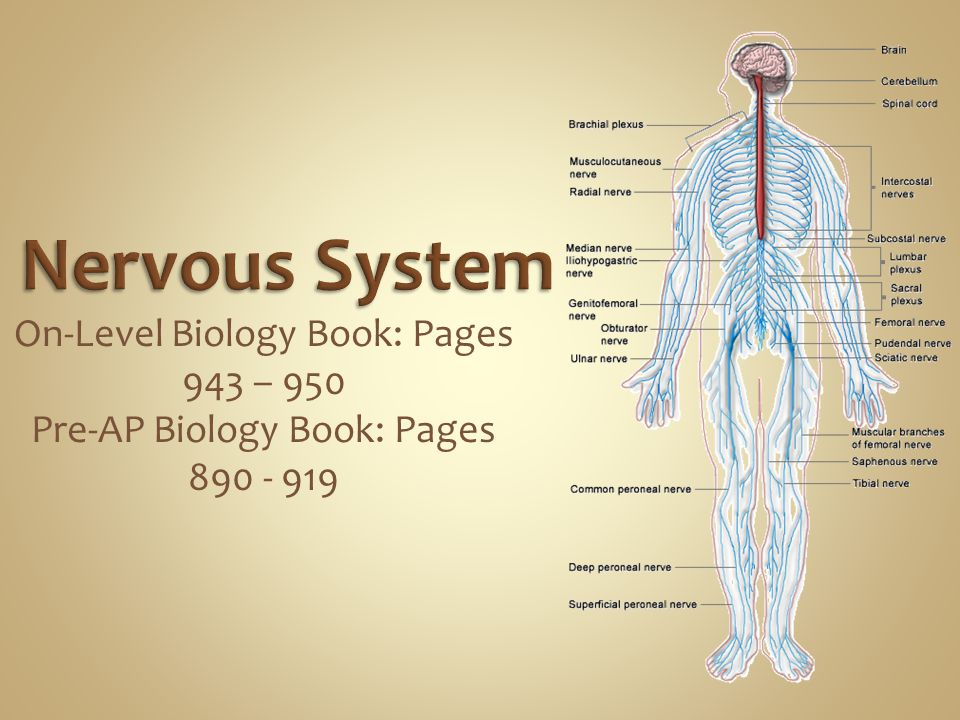 Nervous System On-Level Biology Book: Pages 943 – 950