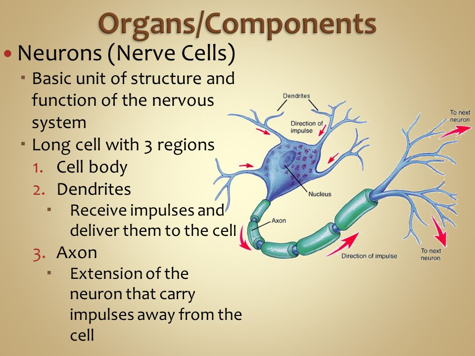 Organs/Components Neurons (Nerve Cells)