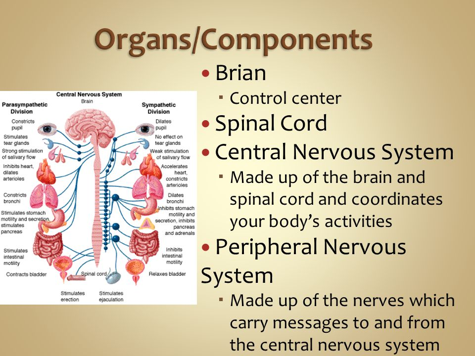 Organs/Components Brian Spinal Cord Central Nervous System