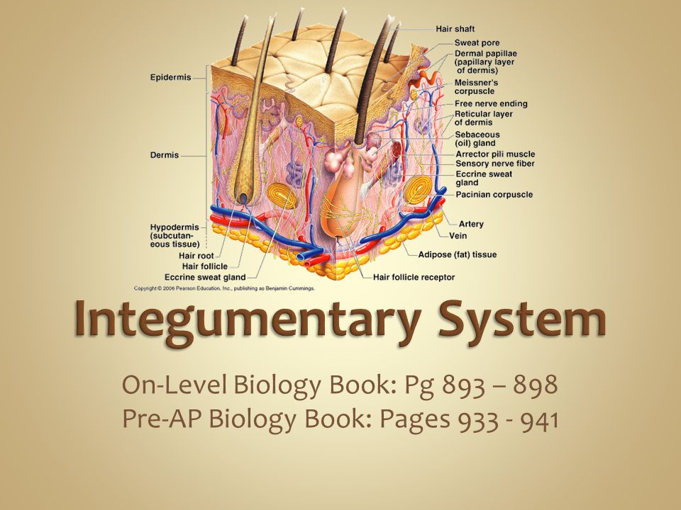 Integumentary System On-Level Biology Book: Pg 893 – 898