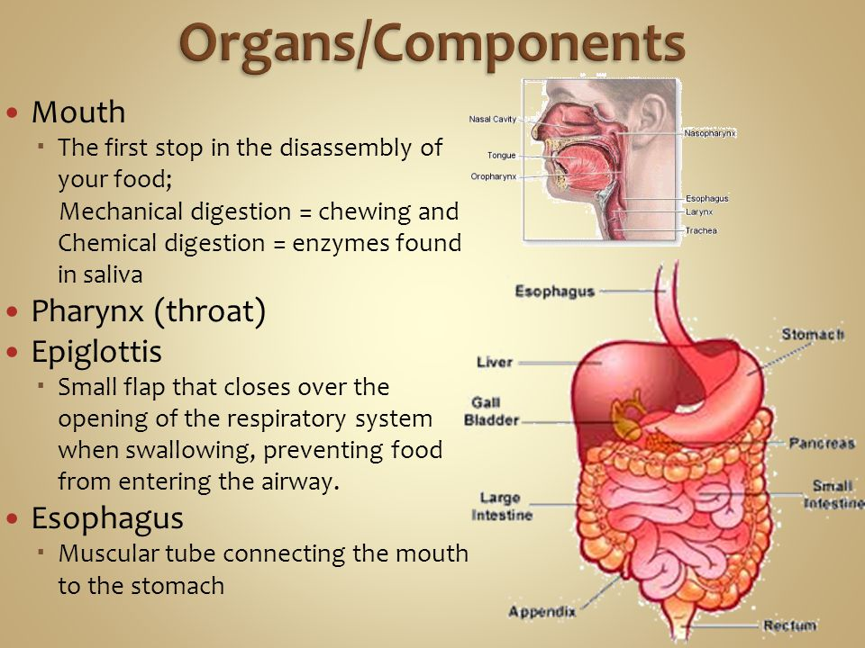 Organs/Components Mouth Pharynx (throat) Epiglottis Esophagus