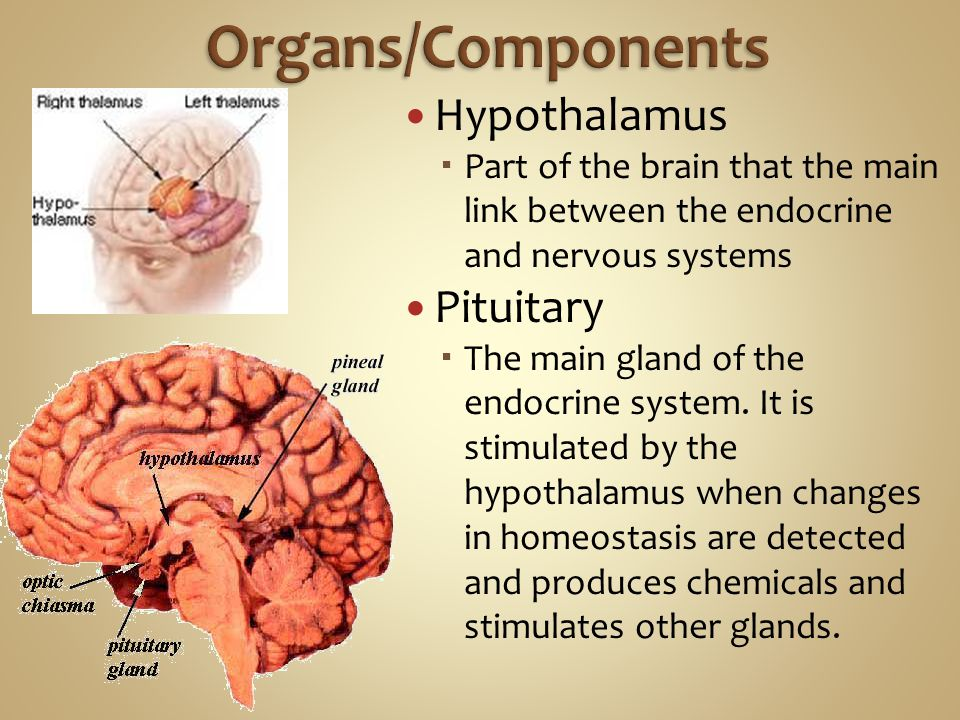 Organs/Components Hypothalamus Pituitary