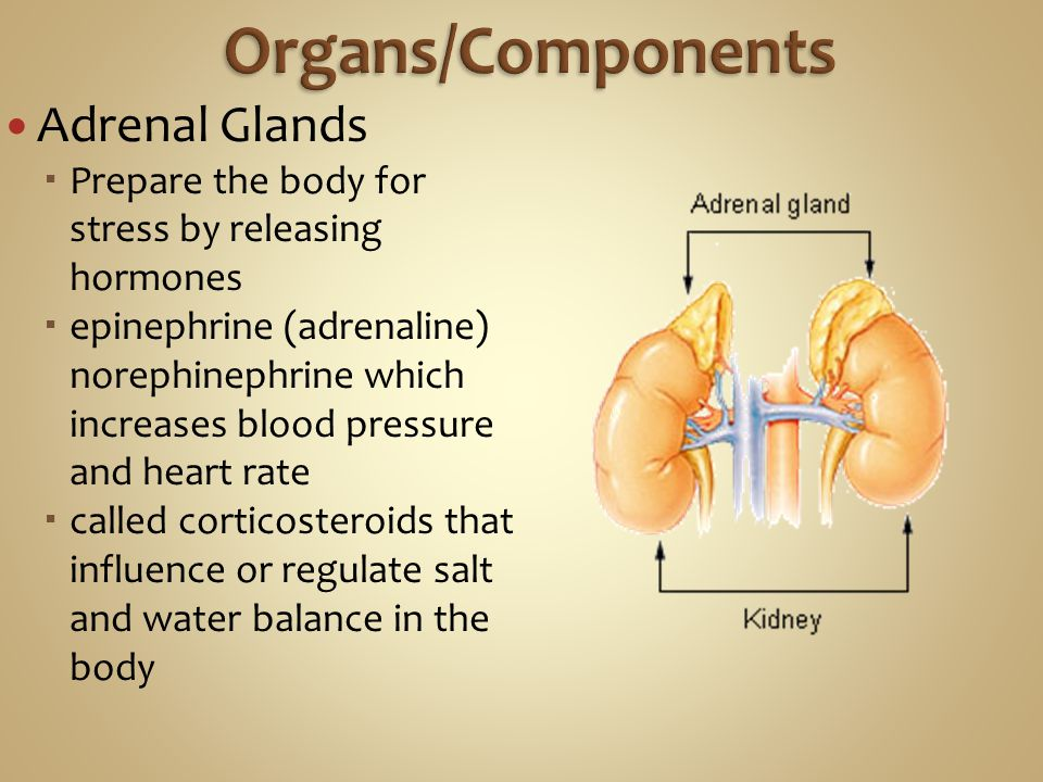 Organs/Components Adrenal Glands