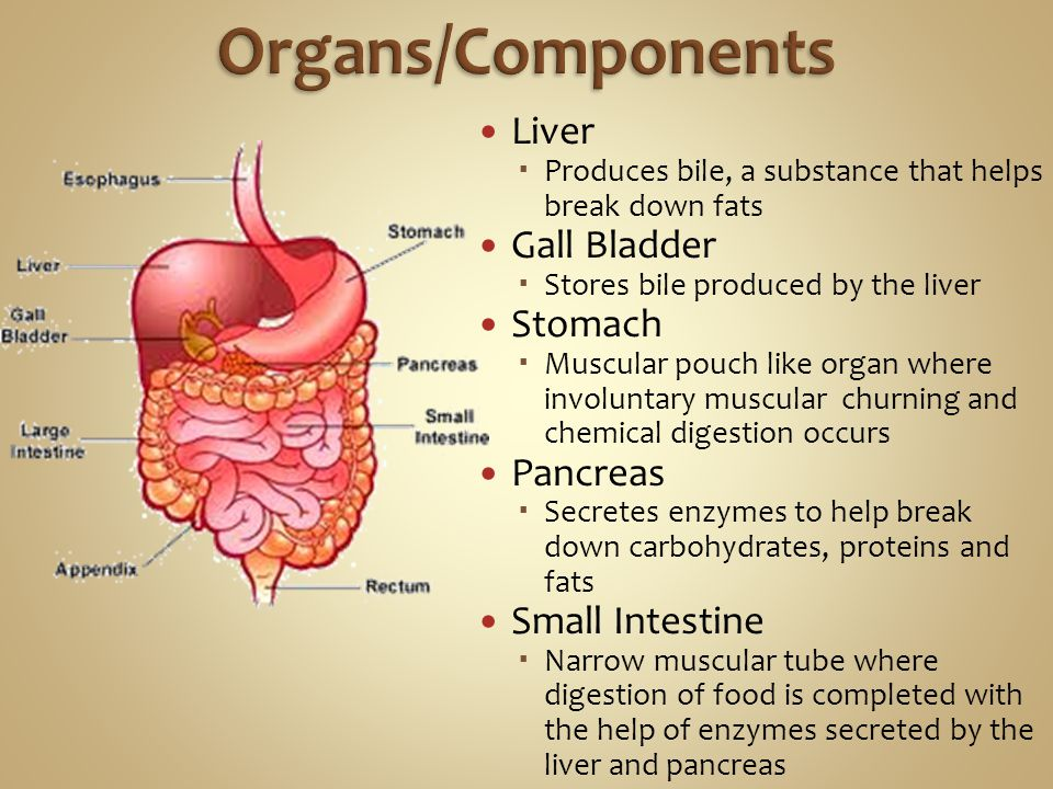 Organs/Components Liver Gall Bladder Stomach Pancreas Small Intestine