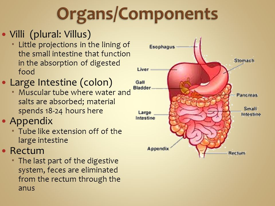 Organs/Components Villi (plural: Villus) Large Intestine (colon)