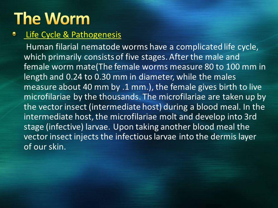 The Worm Life Cycle & Pathogenesis
