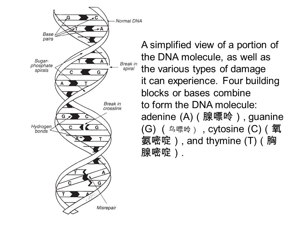 A simplified view of a portion of the DNA molecule, as well as the various types of damage