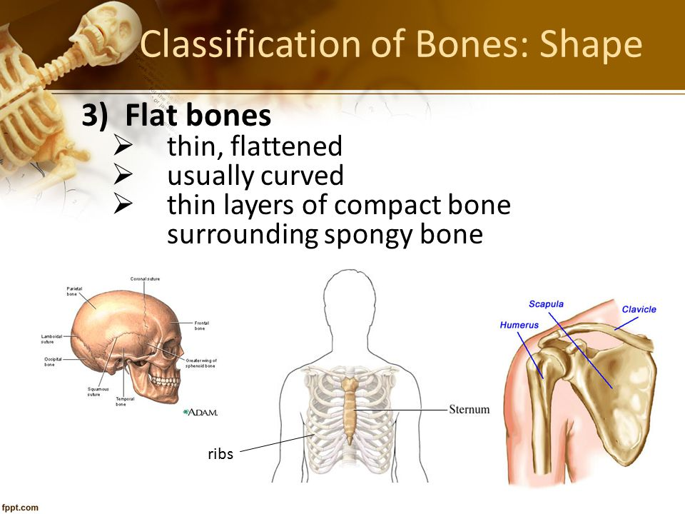 Classification of Bones: Shape