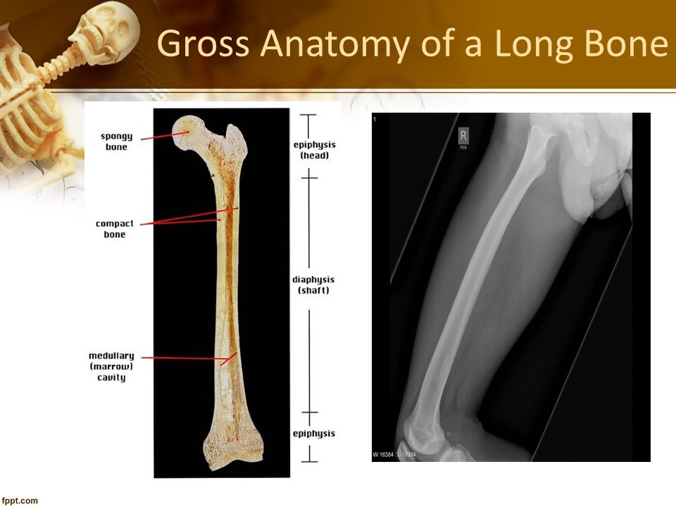 Gross Anatomy of a Long Bone