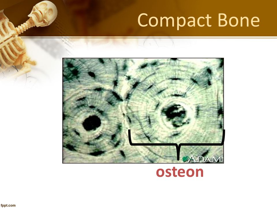 Compact Bone osteon