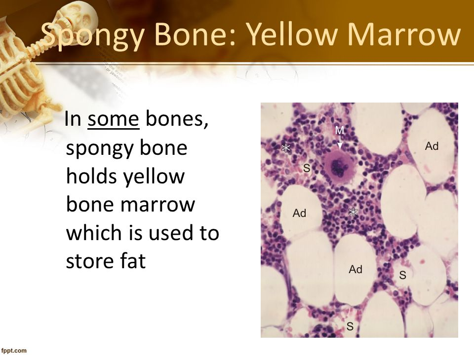 Spongy Bone: Yellow Marrow