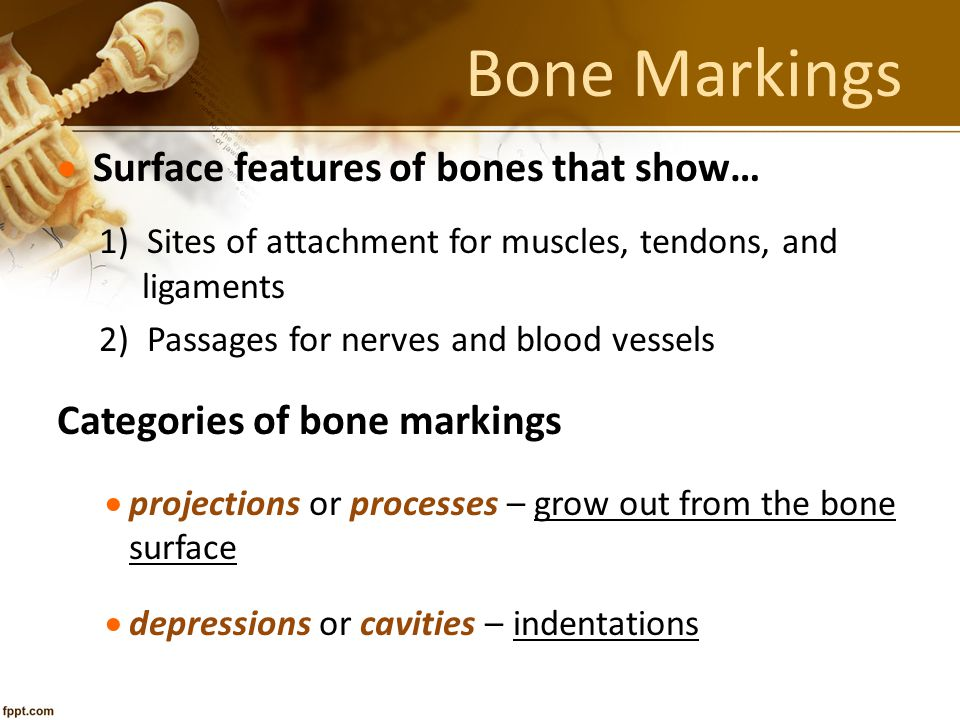 Bone Markings Surface features of bones that show…