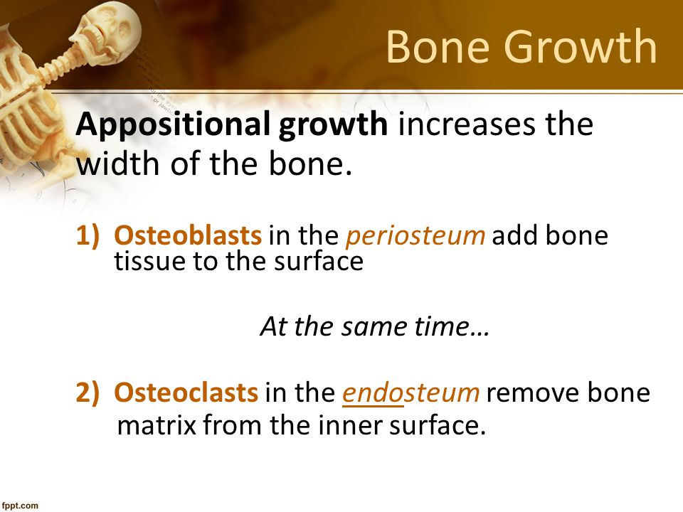 Bone Growth Appositional growth increases the width of the bone.