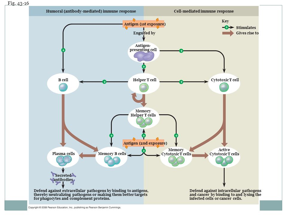 Figure 43.16 An overview of the acquired immune response