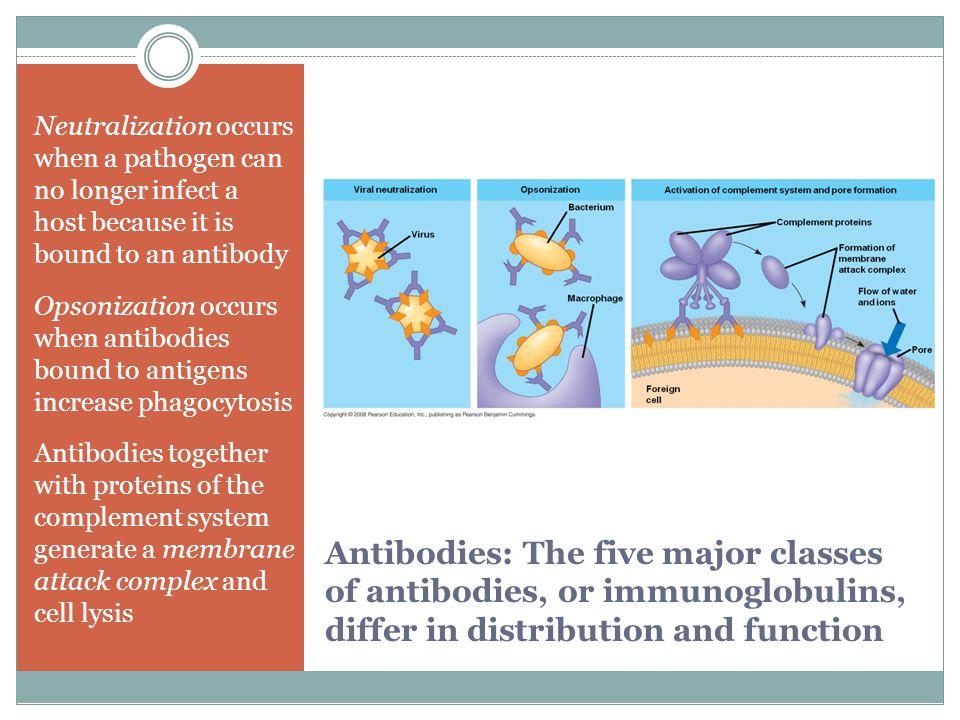 Neutralization occurs when a pathogen can no longer infect a host because it is bound to an antibody