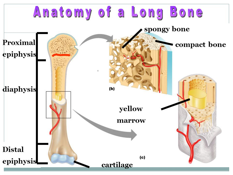 Anatomy of a Long Bone spongy bone Proximal compact bone epiphysis
