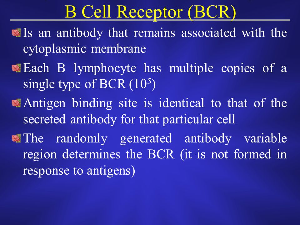 B Cell Receptor (BCR) Is an antibody that remains associated with the cytoplasmic membrane.