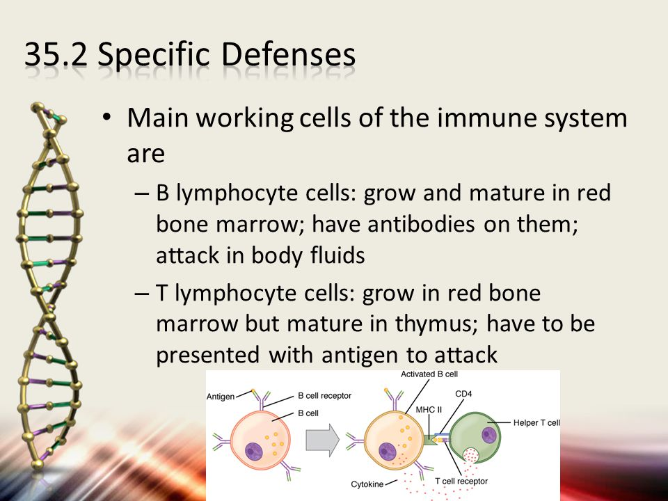 35.2 Specific Defenses Main working cells of the immune system are