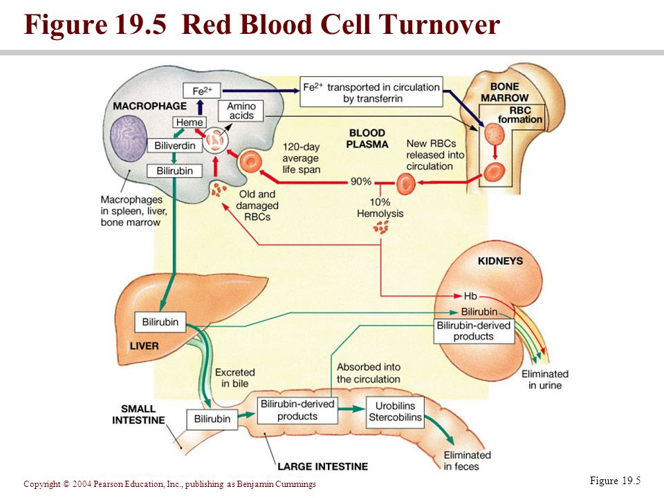 Figure 19.5 Red Blood Cell Turnover