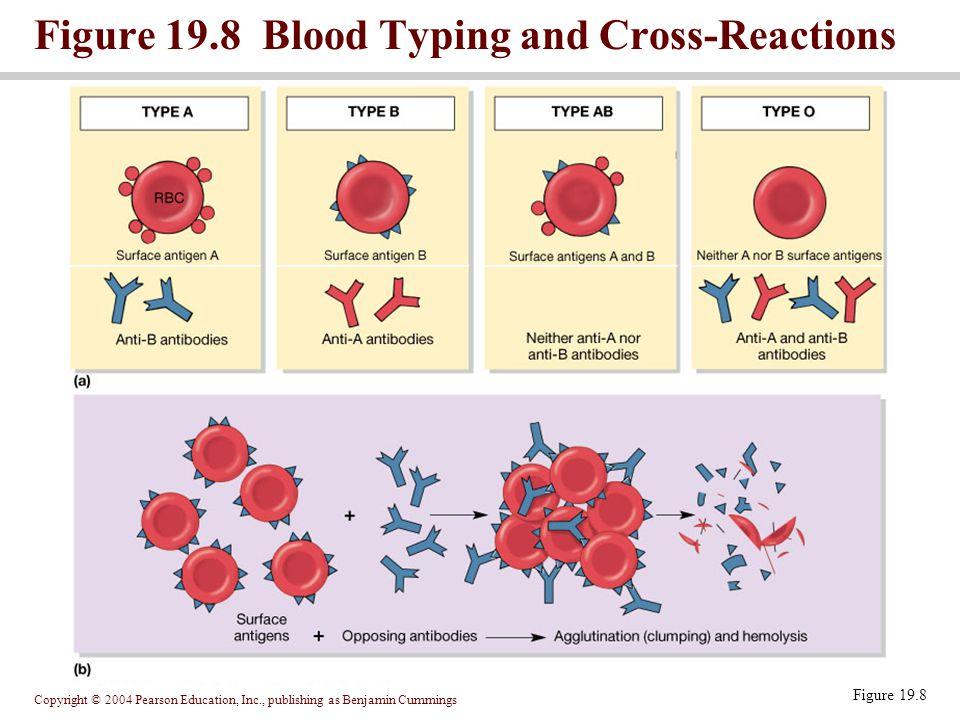 Figure 19.8 Blood Typing and Cross-Reactions