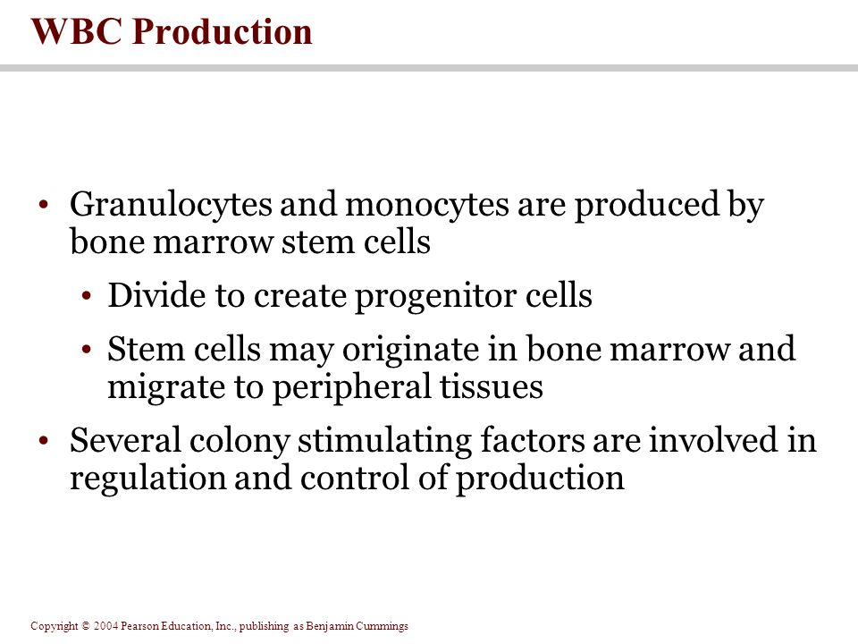 WBC Production Granulocytes and monocytes are produced by bone marrow stem cells. Divide to create progenitor cells.