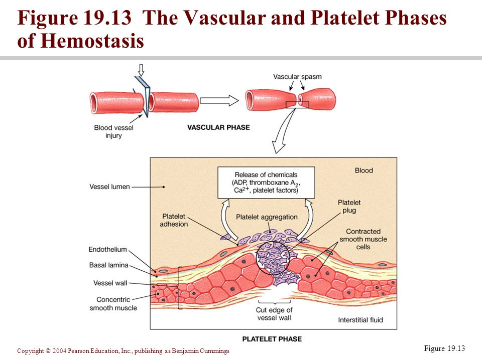 Figure 19.13 The Vascular and Platelet Phases of Hemostasis