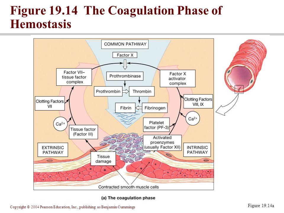 Figure 19.14 The Coagulation Phase of Hemostasis