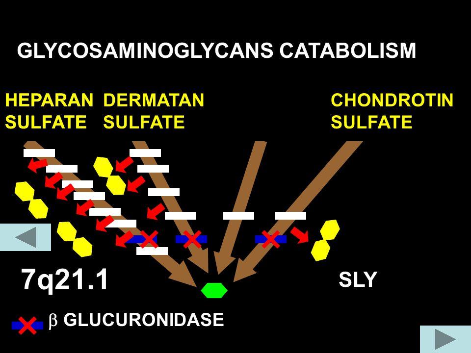 7q21.1 GLYCOSAMINOGLYCANS CATABOLISM COLLAGEN FIBER SLY