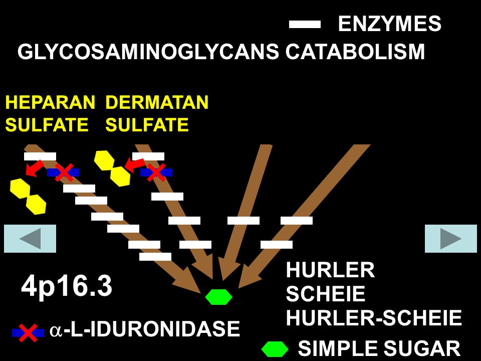 4p16.3 ENZYMES GLYCOSAMINOGLYCANS CATABOLISM COLLAGEN FIBER HURLER