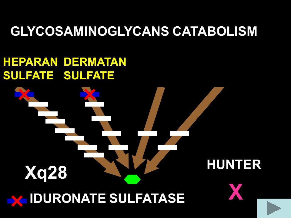 X Xq28 GLYCOSAMINOGLYCANS CATABOLISM COLLAGEN FIBER HUNTER