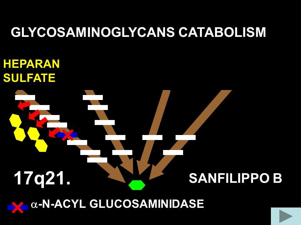 17q21. GLYCOSAMINOGLYCANS CATABOLISM COLLAGEN FIBER SANFILIPPO B