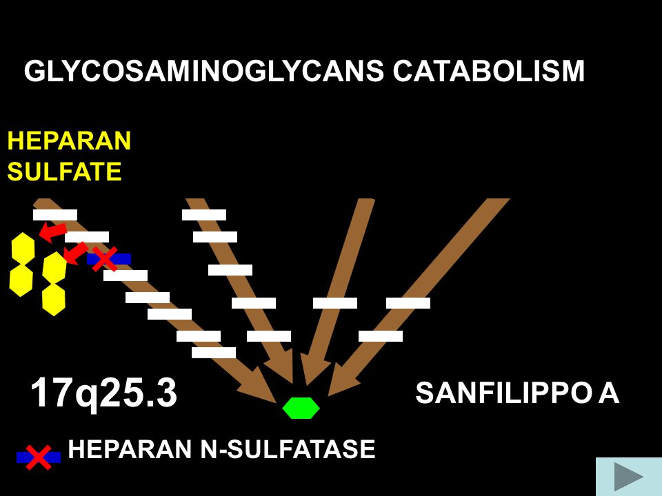 17q25.3 GLYCOSAMINOGLYCANS CATABOLISM COLLAGEN FIBER SANFILIPPO A