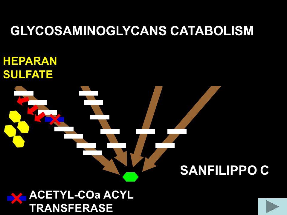 GLYCOSAMINOGLYCANS CATABOLISM COLLAGEN FIBER