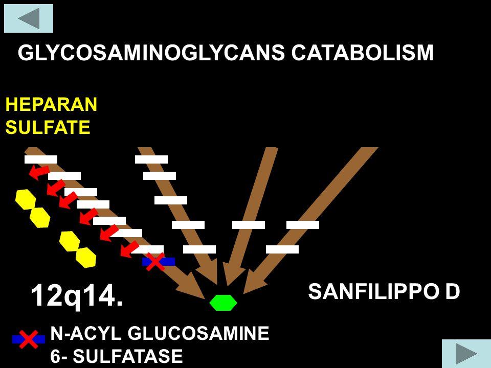 12q14. GLYCOSAMINOGLYCANS CATABOLISM COLLAGEN FIBER SANFILIPPO D