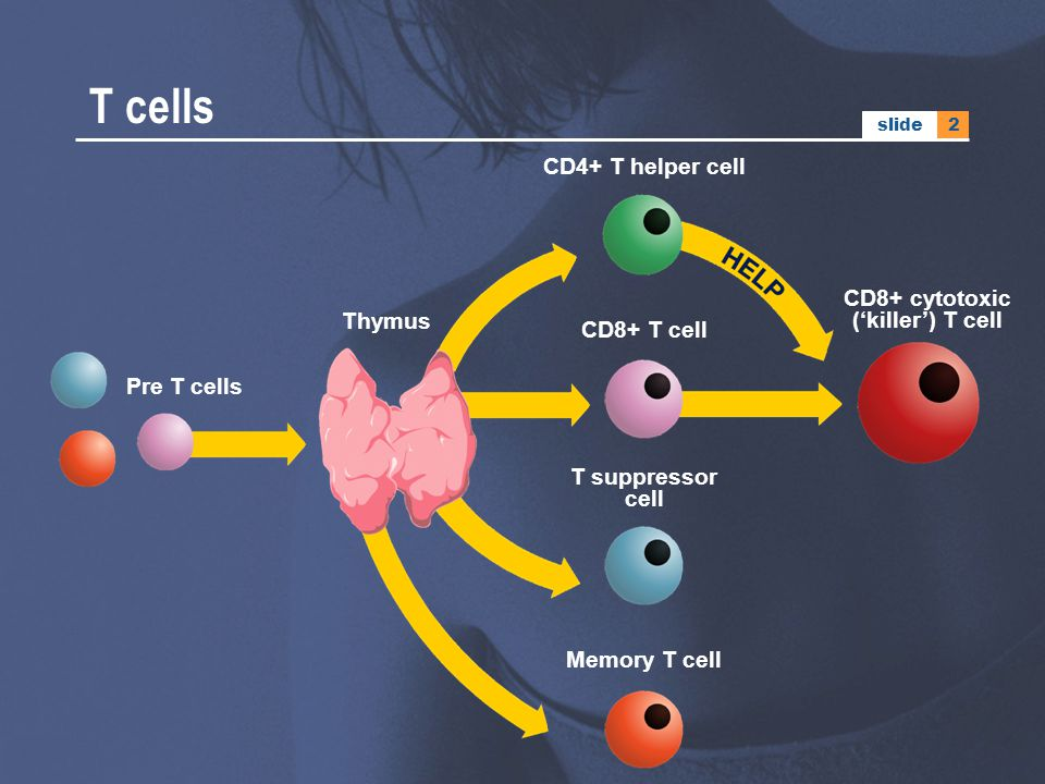 CD8+ cytotoxic ('killer') T cell