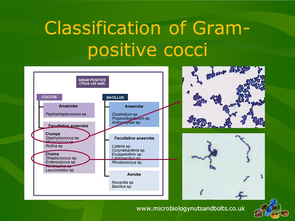 Classification of Gram-positive cocci