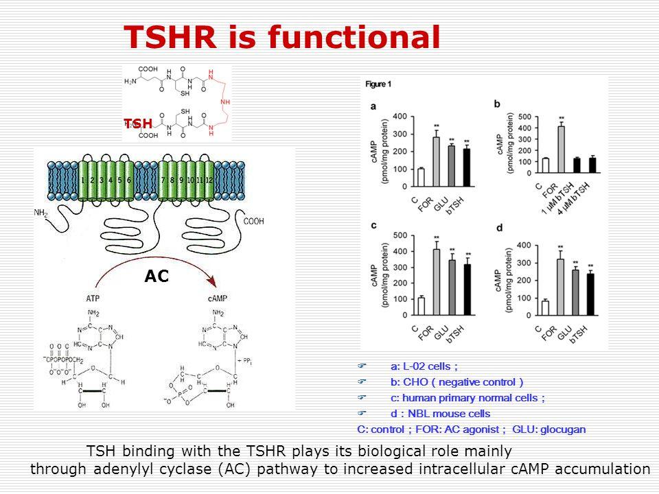 TSHR is functional TSH. AC. a: L-02 cells; b: CHO(negative control) c: human primary normal cells;