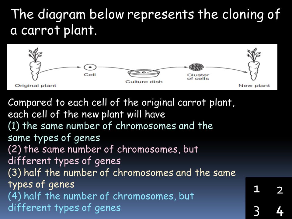 1 2 3 4 The diagram below represents the cloning of a carrot plant.