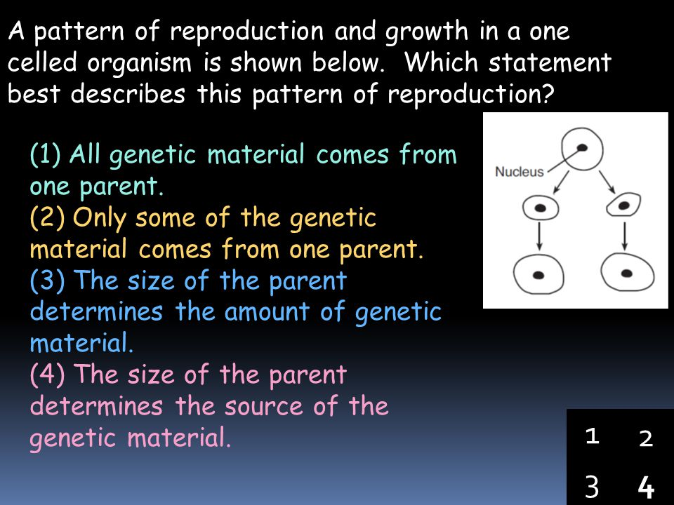 A pattern of reproduction and growth in a one celled organism is shown below. Which statement best describes this pattern of reproduction