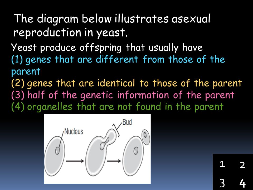 1 2 3 4 The diagram below illustrates asexual reproduction in yeast.