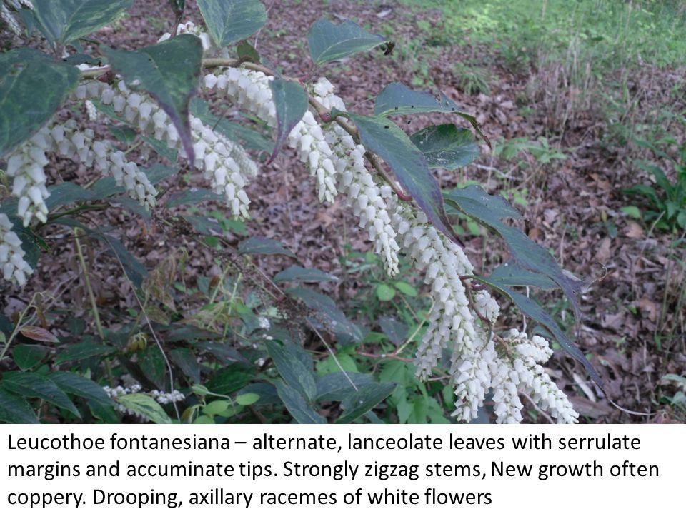 Leucothoe fontanesiana – alternate, lanceolate leaves with serrulate margins and accuminate tips.